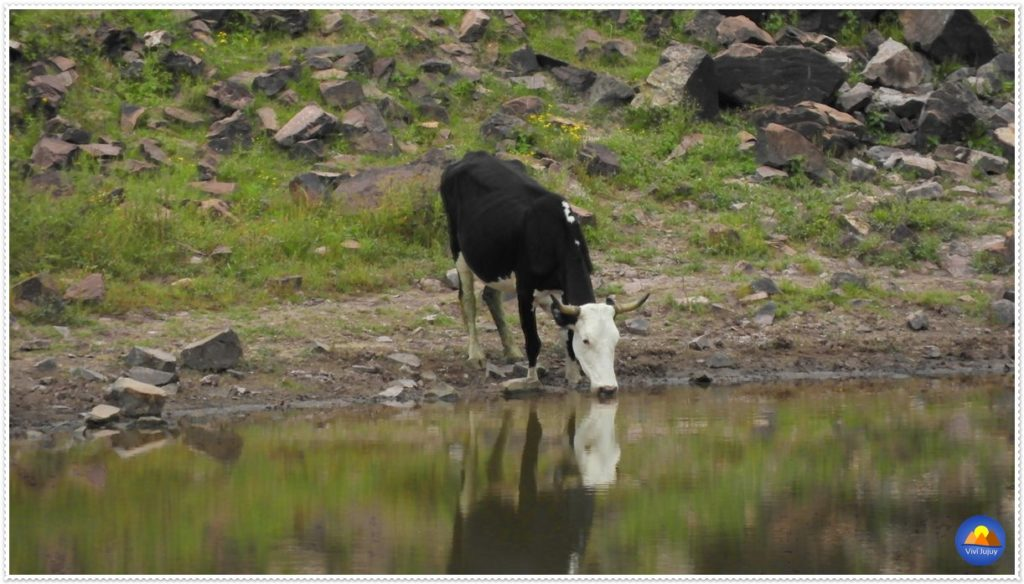 Vaca Laguna de Yala