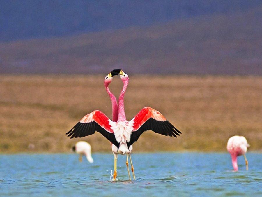 Flamencos cortejando