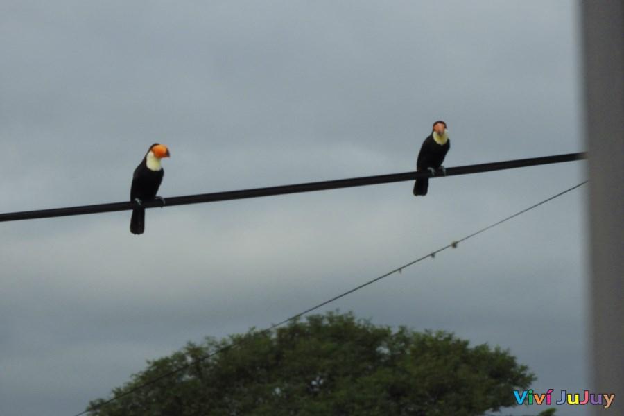 Tucanes en Jujuy
